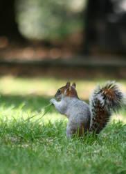 squirrel by naihtsirk