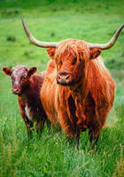 [29/30] - The Highland Cattle by Sarah-BK