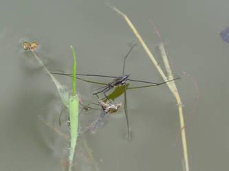 water spider by sillentkil