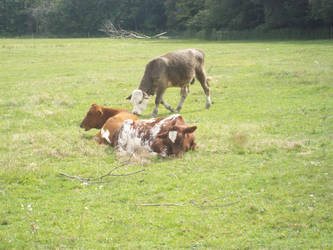 Lazy Cows by photographybymia