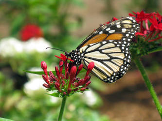 Butterfly 1 by Aconyte-Stock