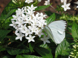 Butterfly 3 by Aconyte-Stock