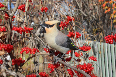 Waxwing 1 by Sillykoshka