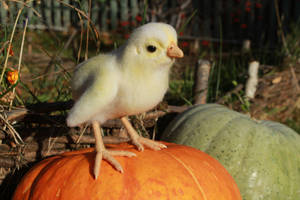 Chick (baby hen) 2 by Sillykoshka
