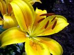 Yellow Lily by thegreeneye