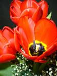 Three red tulips by thegreeneye