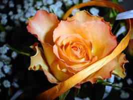 Orange Rose... by thegreeneye