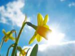 Daffodil by BlueAnomiS