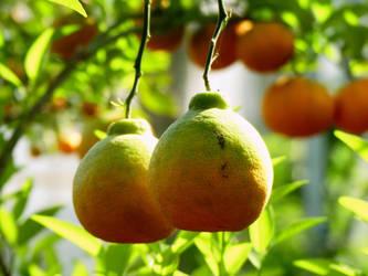 Citrus 5 by Yamraj88
