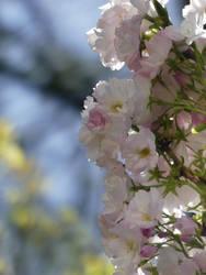 Pink flowers by Yamraj88