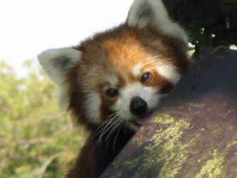 Red Panda by drunkteddyrampage