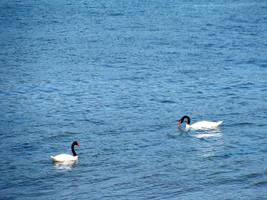 swans in blue by glasschild