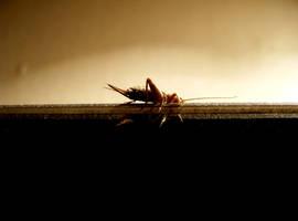 cricket by glasschild