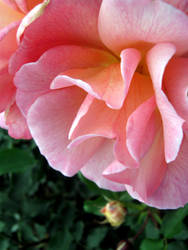 rose by glasschild