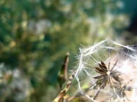 some sort of dandelion by glasschild