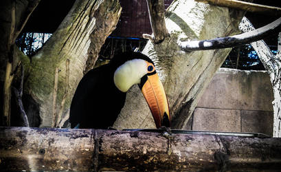 The Beauty of the Toucan by whitewolfislove