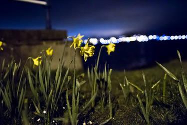 Midnight Daffodils by whitewolfislove