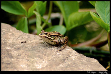 Frog 2 by wlapies