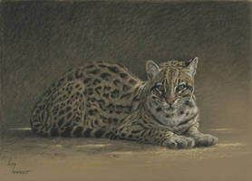 Ocelot : Charcoal and pastel by wimke
