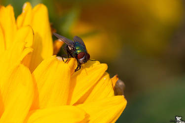 The Fly II by Tribolonotus