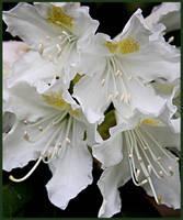 White Rhododendron by Brigitte-Fredensborg
