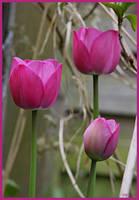 Pink Tulip by Brigitte-Fredensborg