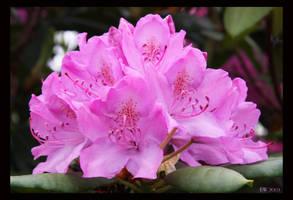 Rhododendron by Brigitte-Fredensborg