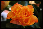 Orange Rose by Brigitte-Fredensborg
