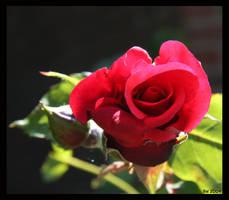 One red rose by Brigitte-Fredensborg