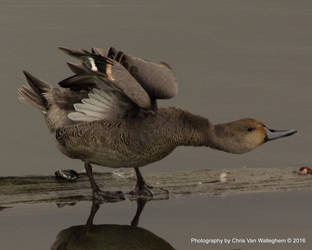 Pintail Stretch II by eaglesdarephoto