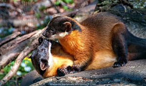 Yellow-throated Marten by Oddersnude