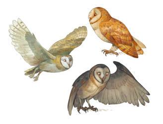 Barn owls by Drkav