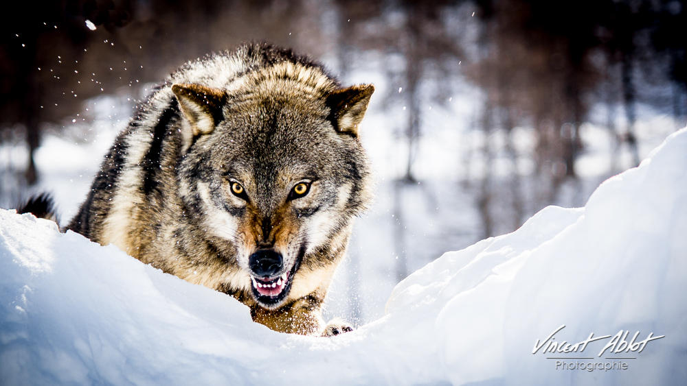 Angry Wolf by GamesOfLight