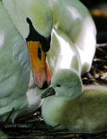 Mother Swan and Baby by sekhmet-neseret