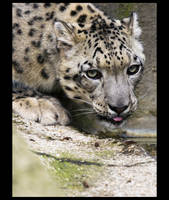 Leopard des Neiges by sekhmet-neseret