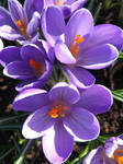 crocuses 00 by synesthesea