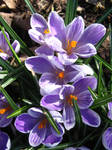 crocuses 02 by synesthesea
