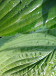 hosta leaves wet by synesthesea