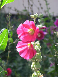 electric pink alcea by synesthesea