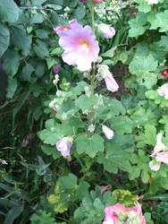 hollyhock in the garden by synesthesea