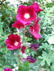 hollyhock burgundy by synesthesea