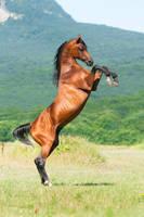 Arabian stallion Angleter by Vikarus