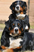 Appenzeller dogs by Vikarus