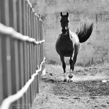 bw arabian horse by Vikarus