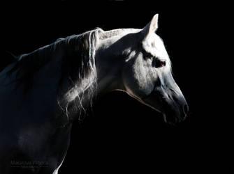 Arabian stallion Sirdar by Vikarus