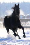 Black horse from Olympia horsefarm by Vikarus