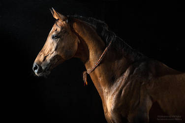 Akhal-teke horse Momm by Vikarus