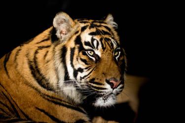 Tigris. by Anoya