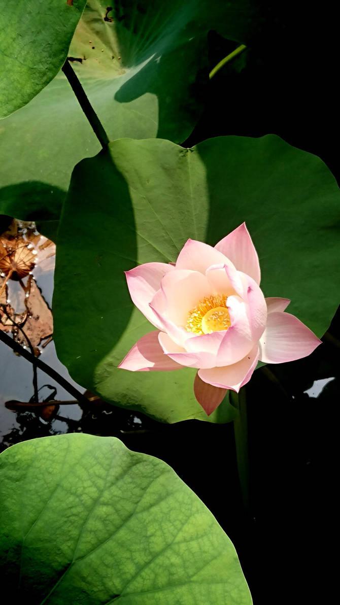 lotus by kaqikaqikaqiqi