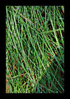 :: grass :: by synergia